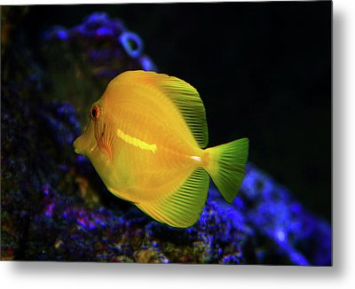 Metal Print featuring the photograph Yellow Tang by Anthony Jones