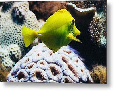 Yellow Tang Fish Metal Print