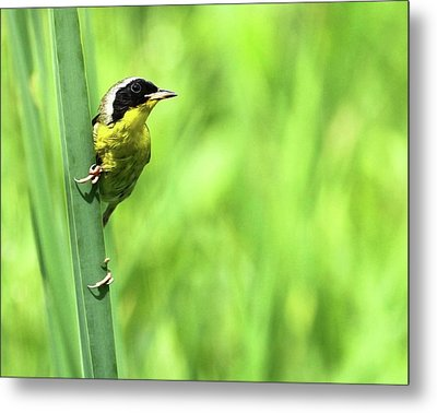 Yellow Throat Metal Print