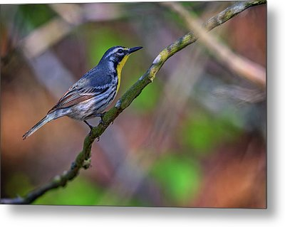 Yellow-throated Warbler Metal Print by Rick Berk