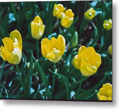 Metal Print featuring the photograph Yellow Tulips--film Image by Matthew Bamberg