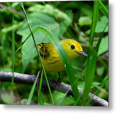 Yellow Warbler Metal Print by Kathy Eickenberg