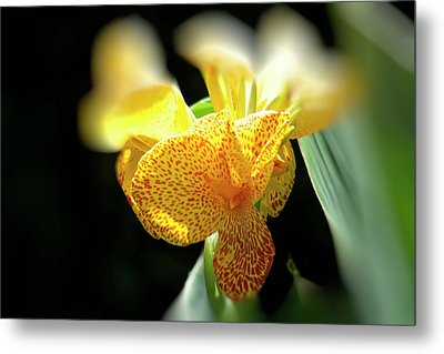 Yellow With Red Spots Metal Print by Douglas Barnard