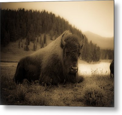 Yellowstone Bison 2 Metal Print by Patrick  Flynn