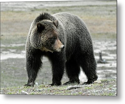 Metal Print featuring the photograph Yellowstone Grizzly A Pondering by Bruce Gourley
