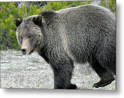 Metal Print featuring the photograph Yellowstone Grizzly On The Hunt by Bruce Gourley
