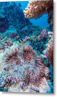Yellowtail Clown Fish With Sea Anemone Metal Print