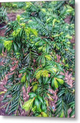 Yew Tree Metal Print by Isabella F Abbie Shores FRSA
