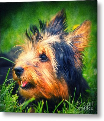 Yorki Metal Print by Angela Doelling AD DESIGN Photo and PhotoArt