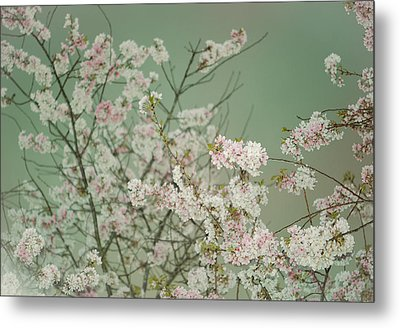 Yoshino Cherries Jade Metal Print
