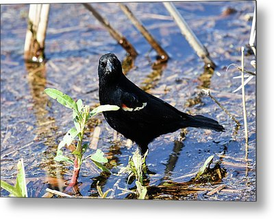 You Looking At Me Metal Print by Gary Wightman