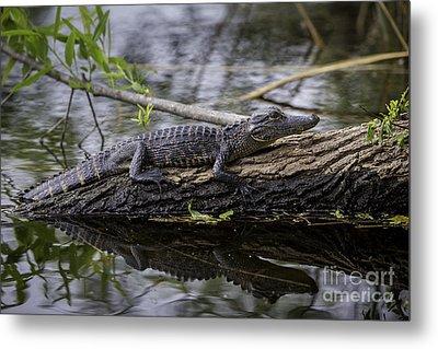 Young Alligator Metal Print