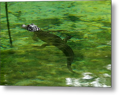 Young Alligator Metal Print
