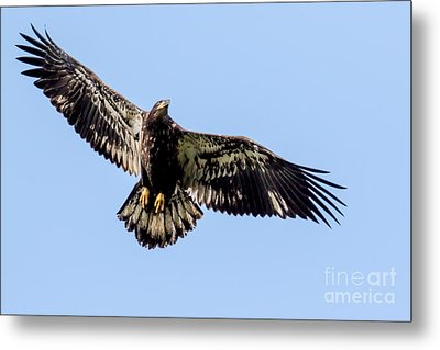 Young Bald Eagle Flight Metal Print