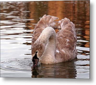 Young Beauty - Juvenile Mute Swan Metal Print
