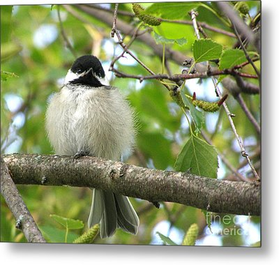 Young Black-capped Chickadee Metal Print by Angie Rea
