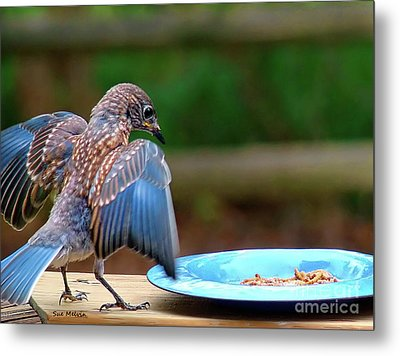 Young Bluebird's Delight Metal Print by Sue Melvin
