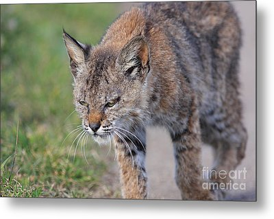 Young Bobcat 03 Metal Print by Wingsdomain Art and Photography