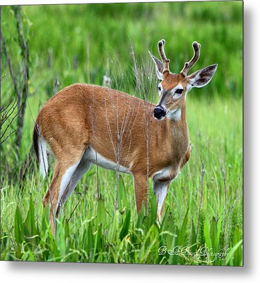 Metal Print featuring the photograph Young Buck by Barbara Bowen