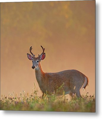 Young Buck Square Metal Print by Bill Wakeley