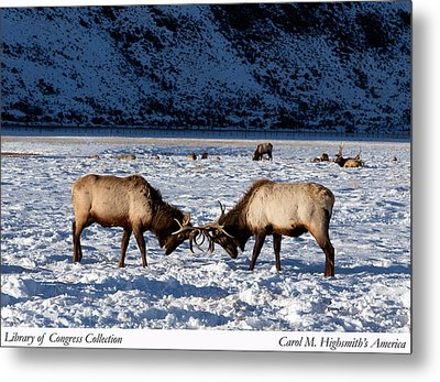 Young Bull Elk In Jackson  Hole In Wyoming Metal Print by Carol M Highsmith