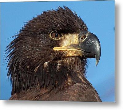 Young Eagle Head Metal Print by Sheldon Bilsker