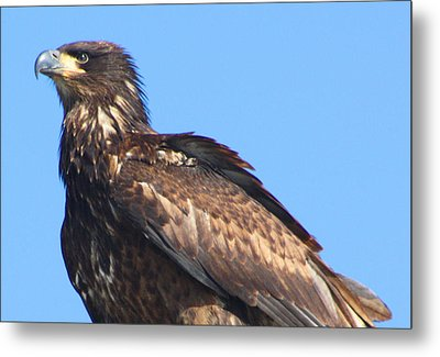 Young Eagle  Metal Print by Nick Gustafson