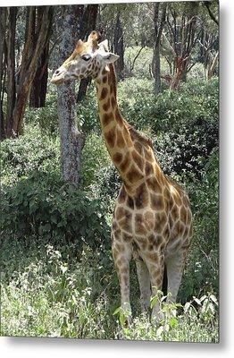 Young Giraffe Metal Print