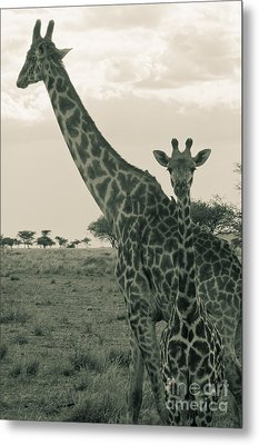 Young Giraffe With Mom In Sepia Metal Print