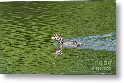 Young Grebe Metal Print by Marv Vandehey