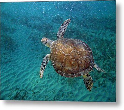Young Green Turtle Metal Print by Kimberly Mohlenhoff