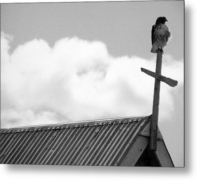 Young Hawk Metal Print