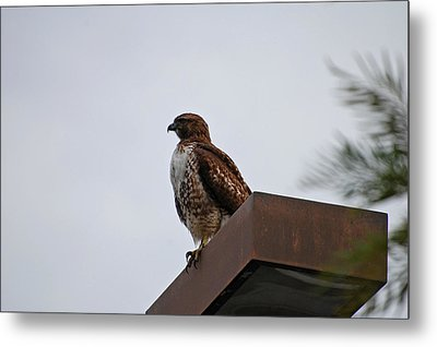 Young Hawk Metal Print by Jean Booth