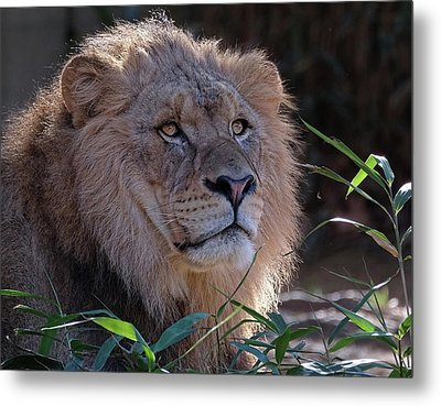 Young Lion King Metal Print