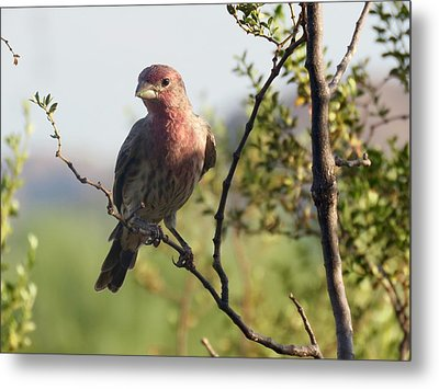 Young Male House Finch Metal Print