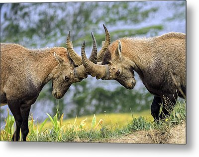 Young Male Wild Alpine, Capra Ibex, Or Steinbock Metal Print