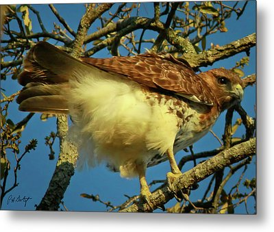 Young Red-tail Metal Print by Phill Doherty