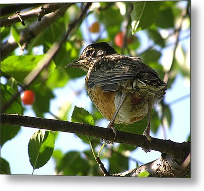 Metal Print featuring the photograph Young Robin by Angie Rea