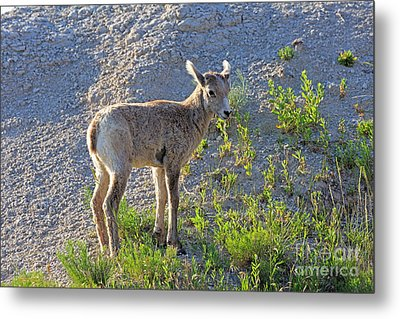 Young Rocky Mountain Bighorn Sheep Metal Print by Louise Heusinkveld