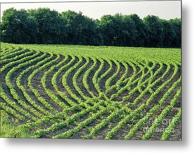 Young Soybean Plants Metal Print by Inga Spence