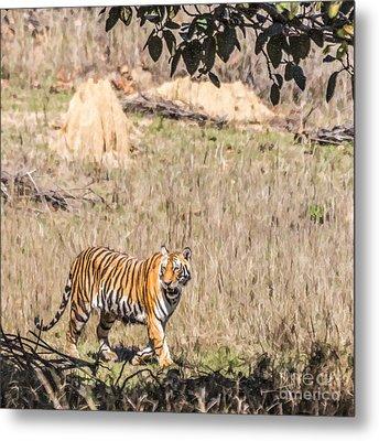 Young Tiger Walking In Kanha National Park Madhya Pradesh India Metal Print by Liz Leyden