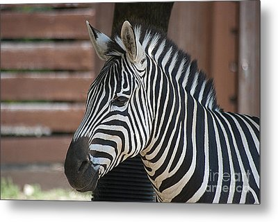 Metal Print featuring the photograph Zebra 20120718_150a by Tina Hopkins