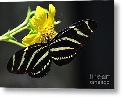 Zebra Heliconian Butterfly Metal Print