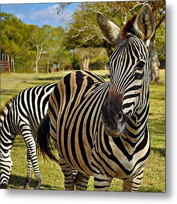 Metal Print featuring the photograph Zebra by John Collins