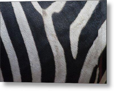 Zebra Metal Print by Linda Geiger