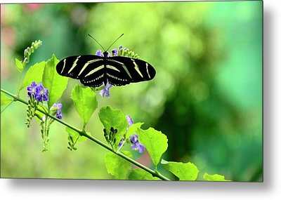 Metal Print featuring the photograph Zebra Longwing Butterfly by Corinne Rhode