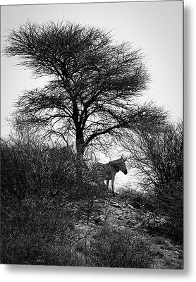 Metal Print featuring the photograph Zebra On A Hill  by Ernie Echols