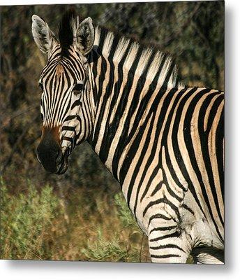 Zebra Watching Sq Metal Print