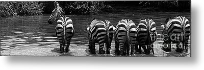 Zebras Cautiously Drinking Metal Print