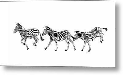 Zebras Dancing Metal Print